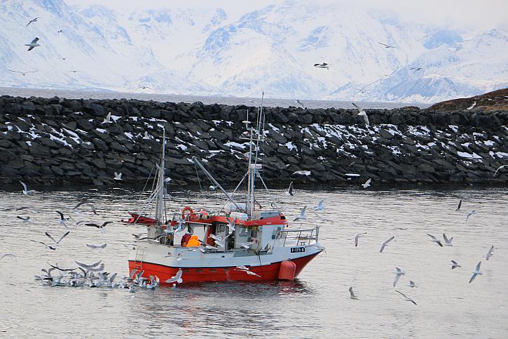 Když se po vydařeném lovu tresek u ostrova Soroya v severním Norsku filetuje rovnou na lodi, mají pak rackové přímo hody. To pak vypadá okolí lodi jako nálet ptáků ve filmu od Hitchcocka.