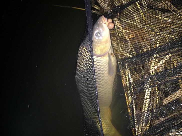 Za jedinou nočku jsem udělal 11 ryb z toho 2 obrovské karase a 9 kaprů s třešničkou v podobě super bojovného kapra 15,15kg!